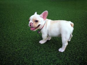 artificial turf pet-proof